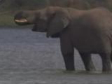 Elephant Takes the Plunge