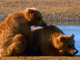Av-401-600: Saving Cubs from their Dads
