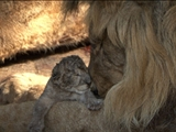 Av-1201-1400: Captive Lion Cubs