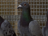 Av-1201-1400: Pigeon Genius