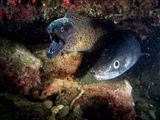 Av-1201-1400: Morays: The Alien Eels