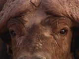 Av-1201-1400: Killer Cape Buffalo