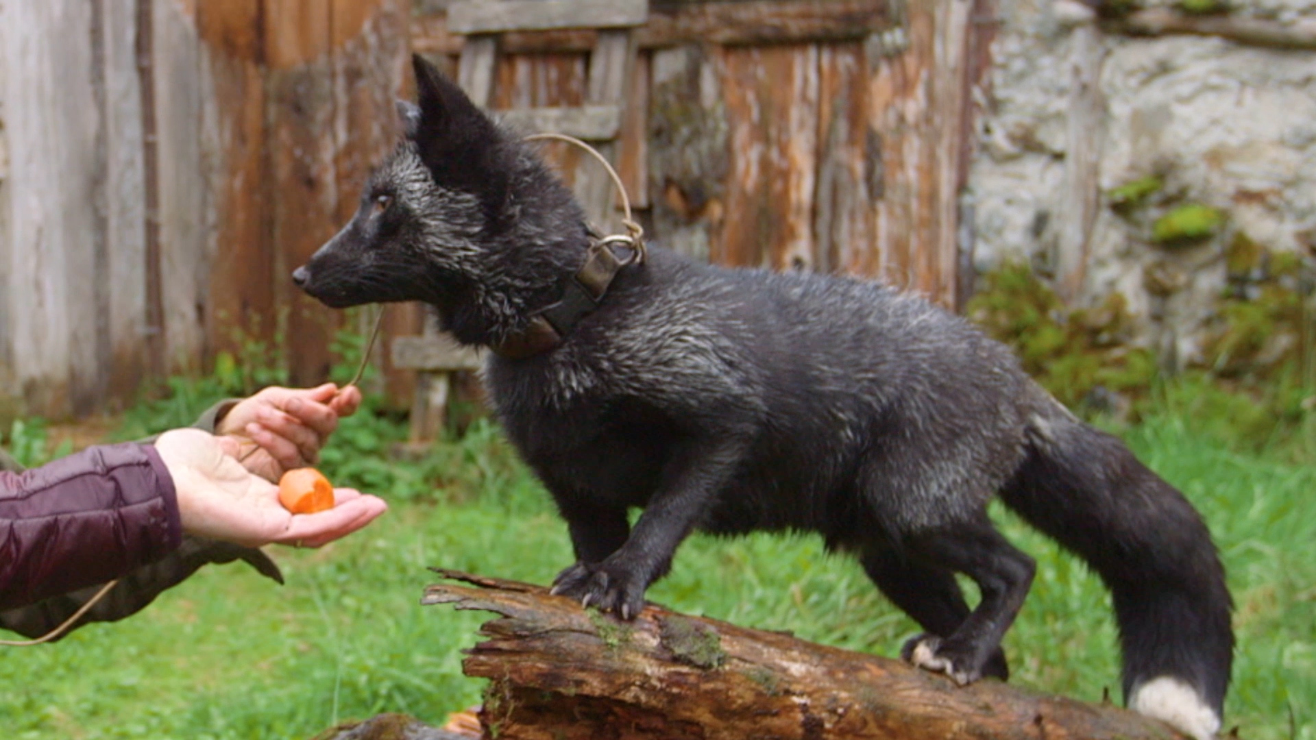 Yukon Do It The Silver Fox Facts Dr Oakley Vet Video National Geographic Channel