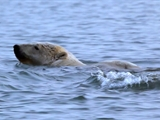 Av-1401-1600: Polar Bears Dive for Food